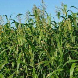 Forage-crops-annual-summer