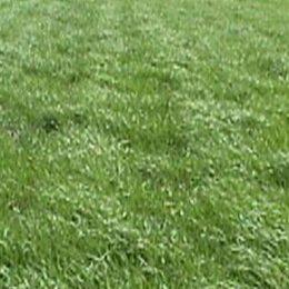 Temperate-grasses