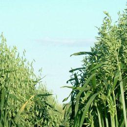 Forage-crops-annual-winter