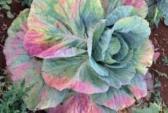 Brassica Stunting Disease