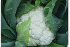 Cauliflower: Choosing the Correct Variety for the Season