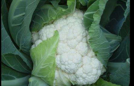 ea7b512345bf1 Cauliflower  Choosing the Correct Variety for the Season - McDonalds ...