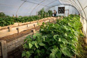 Ukulinga sugar bean farm