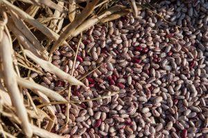 dry sugar bean seed