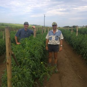 Disco LL Tomato – A Great Choice For Every Tomato Farmer