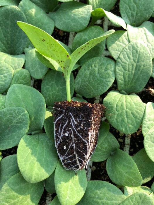 Butternut seedling in soil pods
