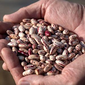 Garda Dry Sugar Bean seed