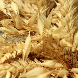 forage winter crop seed