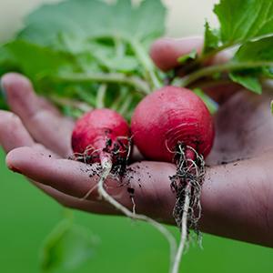 radish seed
