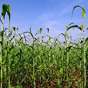 sorghum forage crop seed