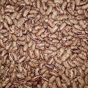 Oribi Dry Sugar Bean Seed