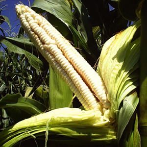 border king white Maize seed