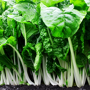 Swiss Chard Spinach plants