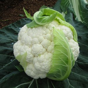 Cauliflower harvest management