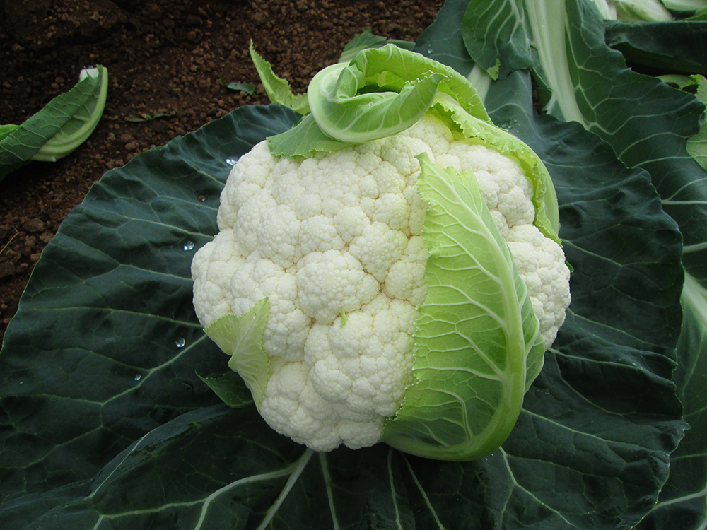 Twister variety of cauliflower