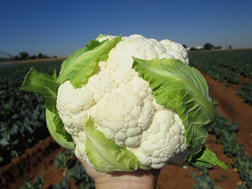 Twister variety cauliflower